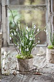 Galanthus nivalis in bark pot with moss and twigs