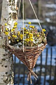 Homemade basket with Eranthis hyemalis as hanging basket
