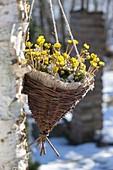 Homemade basket with Eranthis hyemalis as traffic light