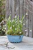 Galanthus nivalis (snowdrop) in blue ring cake form