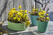 Eranthis hyemalis in baking form and pots on table