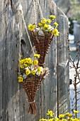 Eranthis hyemalis (winter aconite) in homemade hanging baskets