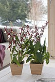 Orchids in wooden pots, Cambria syn. Vuylstekeara