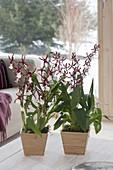 Orchideen in Holztoepfen : Cambria syn. Vuylstekeara