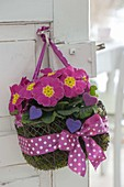 Small wire basket with primula acaulis in moss hung on door handle