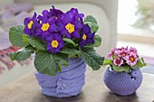 Primula acaulis covered with knit ribbon and crocheted planter