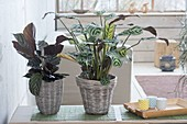 Ctenanthe burle-marxii on the right and Calathea 'Princess Jessie' on the left