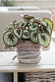 Begonia Rex hybrid 'Mikado' (Rex begonia, Blattbegonie)