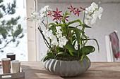 Phalaenopsis (Schmetterlingsorchidee, Malayenblumen), Cambria
