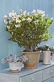Crassula arborescens (money tree, penny-tree) in bloom