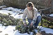 Woman cutting back sage in the farm garden