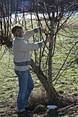 Woman cutting Salix (willow) severely in spring