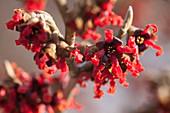 Hamamelis X intermedia 'Red Bruns' (witch hazel)