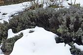 Zu hoch gewachsener Lavendel (Lavandula) wird von zu grosser Schneelast