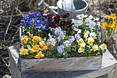 Wooden box colorfully planted with Viola cornuta (horn violet)