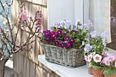 Small basket at the window, Primula X pruhoniciana 'Wanda'