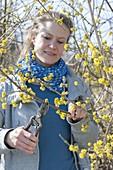 Woman cutting Cornus mas (Cornus) branches