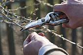 Woman cutting gooseberry (Ribes uva-crispa) in spring