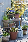 Spring Terrace with Viola cornuta, Tussilago farfara
