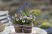 Viola cornuta penny 'Peach Jump Up' and Muscari armeniacum