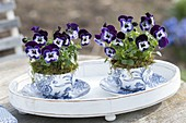 Viola cornuta Penny 'Mickey' (horn violet) in blue-white cup