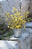 Cornus mas (Cornelian cherry) twigs bouquet in zinc tub