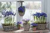 Spring on the windowsill in blue-iris reticulata 'Harmony'