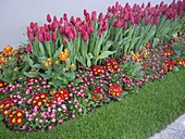 Flower bed designed for exhibition, with Tulipa and Primula acaulis