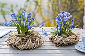 Scilla siberica 'Spring Beauty' with moss in grass wreaths