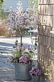 Old zinc bucket with spring plantation Prunus incisa 'February Pink'