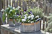 Baskets with viola cornuta, thyme