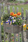 Wooden box with spring planting at the garden fence