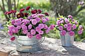 Primula 'Romance' and Bellis in zinc planters