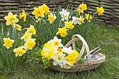 Narcissus in the lawn, basket of freshly cut flowers