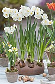 In autumn plant the spring Narcissus 'Bridal Crown'