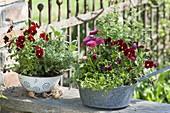 Old, enamelled kitchen sieves planted with Viola cornuta