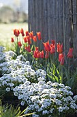 Bed with Tulipa 'Ballerina', edged with Iberis