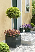 Bucket with Buxus underplanted with Erysimum Poem 'Mandarin'