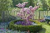 Malus 'Rudolph' in a round bed bordered with Buxus