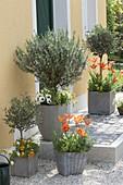 Gray pots with blooming rosemary (Rosmarinus), Olea europaea