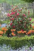 Camellia japonica 'Flame' (Camellia) with Tulipa 'Ballerina'
