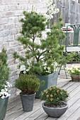 Pinus parviflora 'Negishi' with Viola cornuta