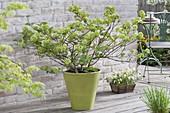 Viburnum plicatum 'Popcorn' (Japanischer Schneeball) im grünen Topf