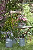 Bellis (Daisies), Viola cornuta (horned violet) and grass