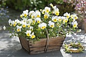 Viola cornuta 'Cream With Yellow Lip' (horn violet) in wooden basket