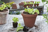Salad Young Plants (Lactuca) in clay pot