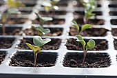 Savoy cabbage seedlings in seed plate