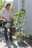 Plant dwarf pear in large zinc tubs