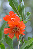 Pomegranate Blossom (Punica granatum)