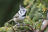 Crested tit on spruce branch